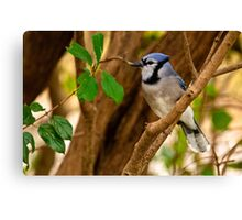 Blue Jay in Shrub - Ottawa, Ontario Canvas Print