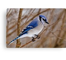 Blue Jay in Shrub Canvas Print