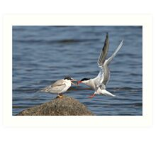 Feeding Time - Common Terns, Ottawa, Ontario Art Print