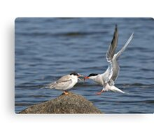 Feeding Time - Common Terns, Ottawa, Ontario Canvas Print