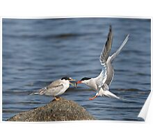 Feeding Time - Common Terns, Ottawa, Ontario Poster