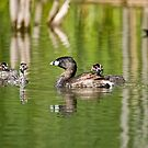 Pied Billed Grebe and Babies - Ottawa, Ontario by Michael Cummings