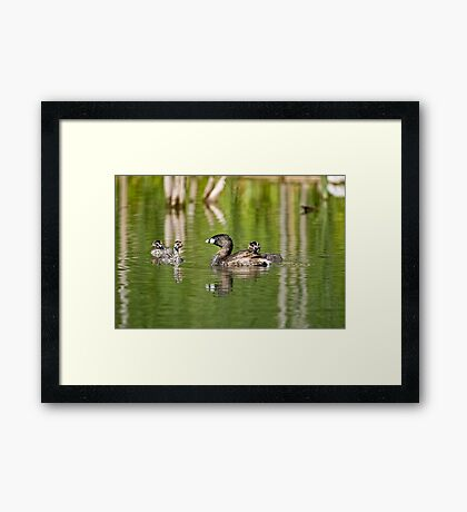 Pied Billed Grebe and Babies - Ottawa, Ontario Framed Print