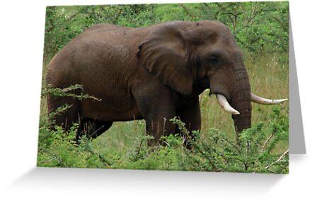 Loxodonta africana by Shaun Swanepoel