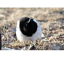 Upside Down Magpie Photographic Print