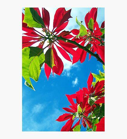 ~ Poinsettia ~ Photographic Print