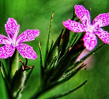 Pink Dianthus ~ Tiny Wildflower by barnsis