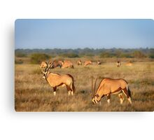 Early Oryx Morning Canvas Print