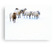 Ovis aries..... Canvas Print