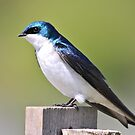 Tree Swallow... by RichImage