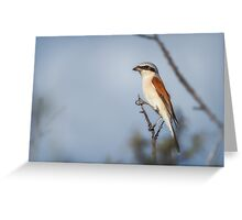 Red-backed Shrike Greeting Card