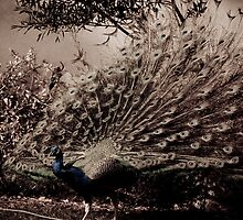 Peacock by Simon Marsden