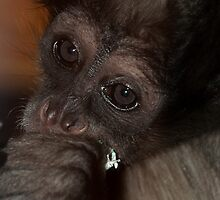 Spider Monkey by Simon Marsden