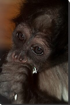 Spider Monkey by Simon Marsden