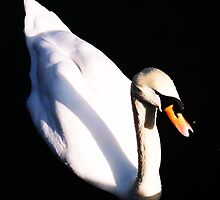 Swan Close-Up - Chelmsford Central Park by MichelleRees