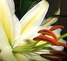 Cream Lily Close-Up by MichelleRees