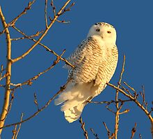 Sun kissed snowy by Heather King