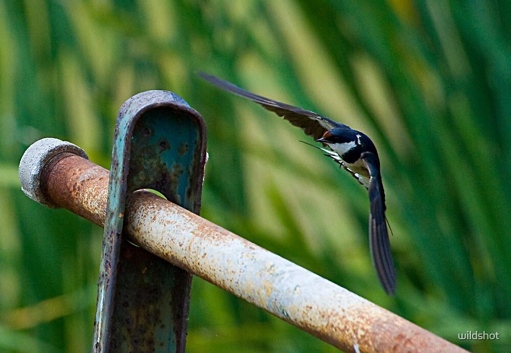 Swallow landing approach by wildshot