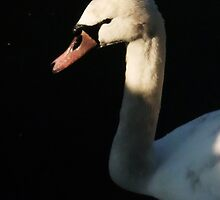 Swan Close-Up Profile - Chelmsford by MichelleRees