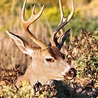 """The Majestic Buck"" by Gail Jones"