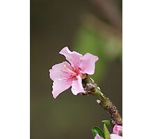 James 4:10; Peach Tree Blooms, La Mirada, CA USA Photographic Print