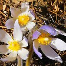 Wild Crocuses by MaeBelle