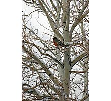 Sing Me Home Red Robin Photographic Print