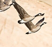 Geese & Canyon Wall by Kim Barton