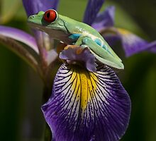 The Iris and the frog by Angi Wallace