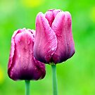 Pink Tulips by Teresa Zieba