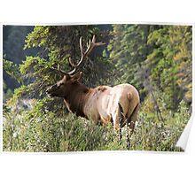 Elk in Jasper National Park Poster