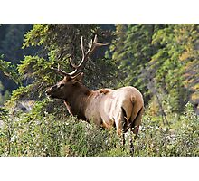 Elk in Jasper National Park Photographic Print