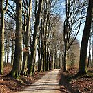 High beech-trees along an old forest road by jchanders
