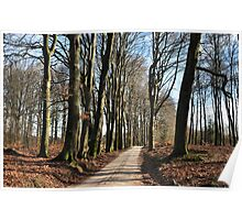 High beech-trees along an old forest road Poster