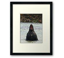 Hooker Sea lion (Genus Phocarctos ) on the South Island Framed Print