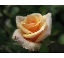 Rose Jubilee Photographic Print