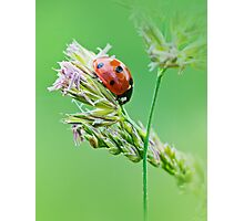 Ladybug sunlight on the field. Beautiful close up of red ladybug in nature Photographic Print