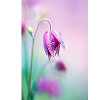 Floral soft tender  background from pink fresh cornflower  macro image Photographic Print
