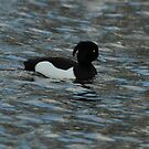 Male Tufted Duck by Robert Abraham