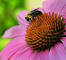 Bee On Cone Flower by Shawn Chase