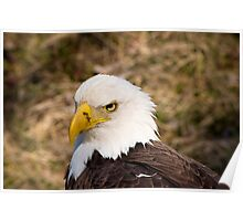 A very bald eagle. Poster