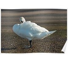 Mute Swan Standing with Beak under Wing Poster