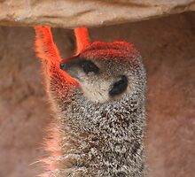 How many meerkats does it take to change a light bulb? by ellismorleyphto