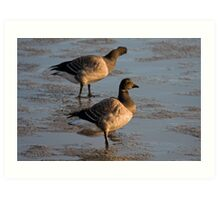 Light bellied brent goose Art Print