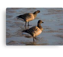 Light bellied brent goose Canvas Print