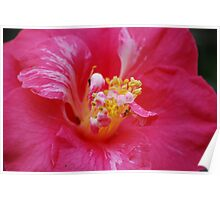 The Inside Scoop on a Camelia... Poster
