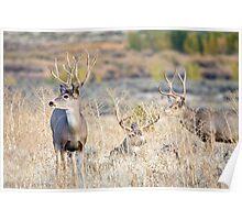 Three Mule Deer Bucks Poster