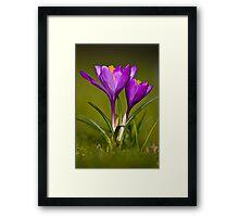 Purple Crocus Framed Print