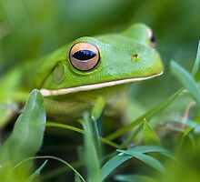 White Lipped Green Tree Frog, Mission Beach Qld. by Susan Kelly