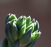 Opening bud by Tom McDonnell